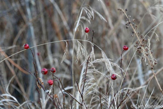 Berries in marsh Draper