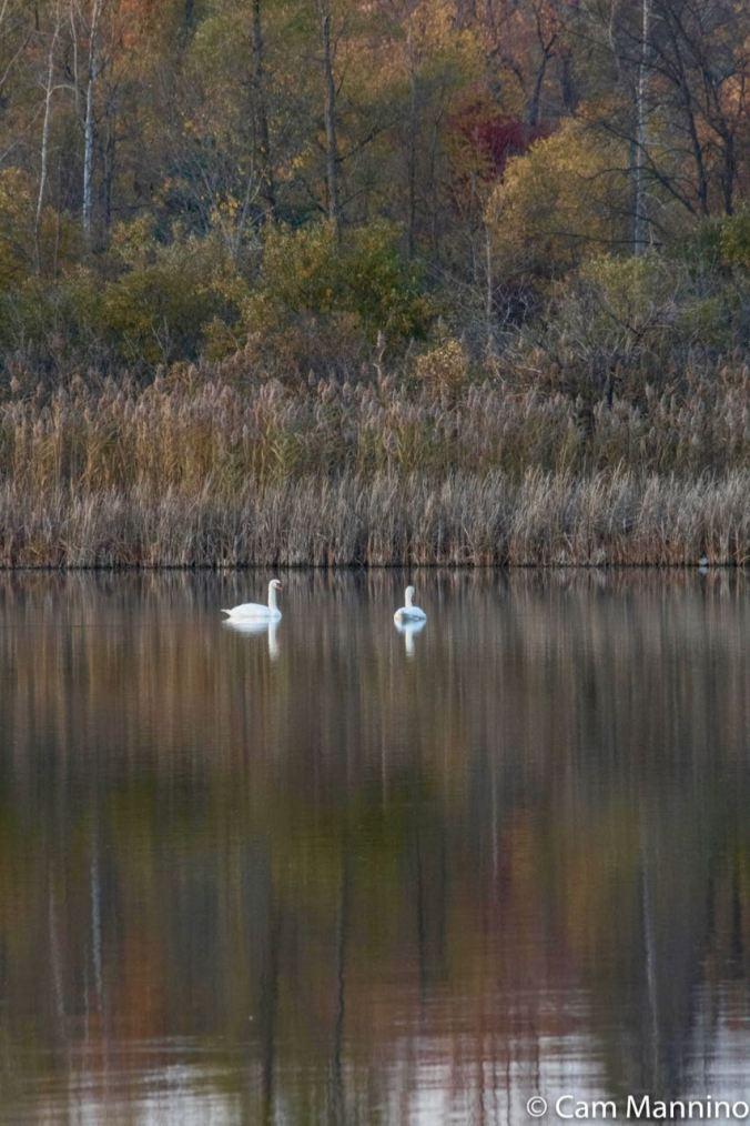Swans across Draper Lake