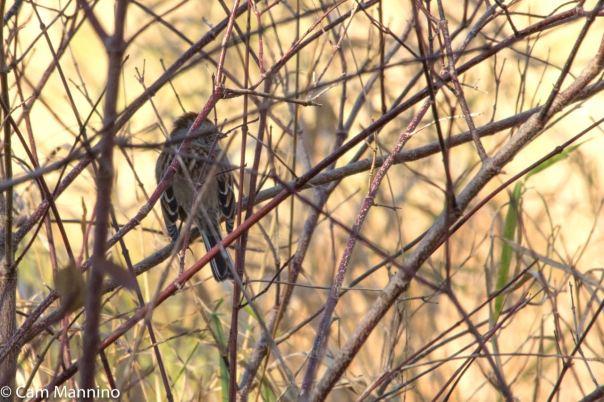 Tree Sparrow GC