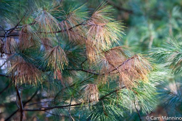 White Pine Needles autumn Draper Lake