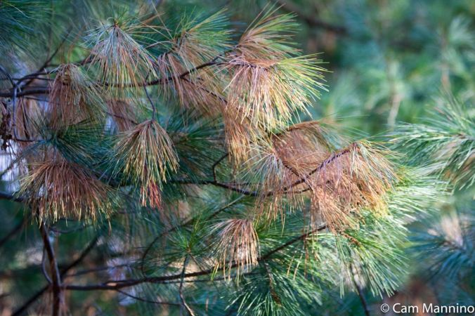 White Pine Needles autumn Draper Lake