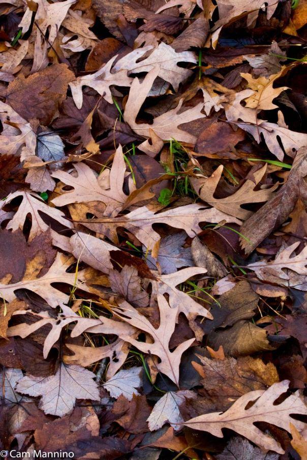 Bur Oak Leaf collage