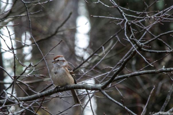 Tree Sparrow LL