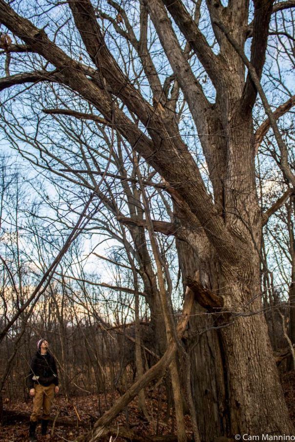 White Oak at Watershed Ridge