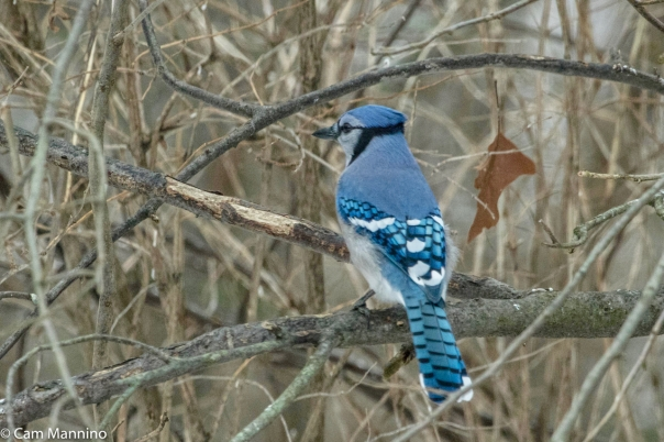 Blue Jay New Lens