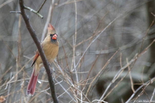 Cardinal female 3