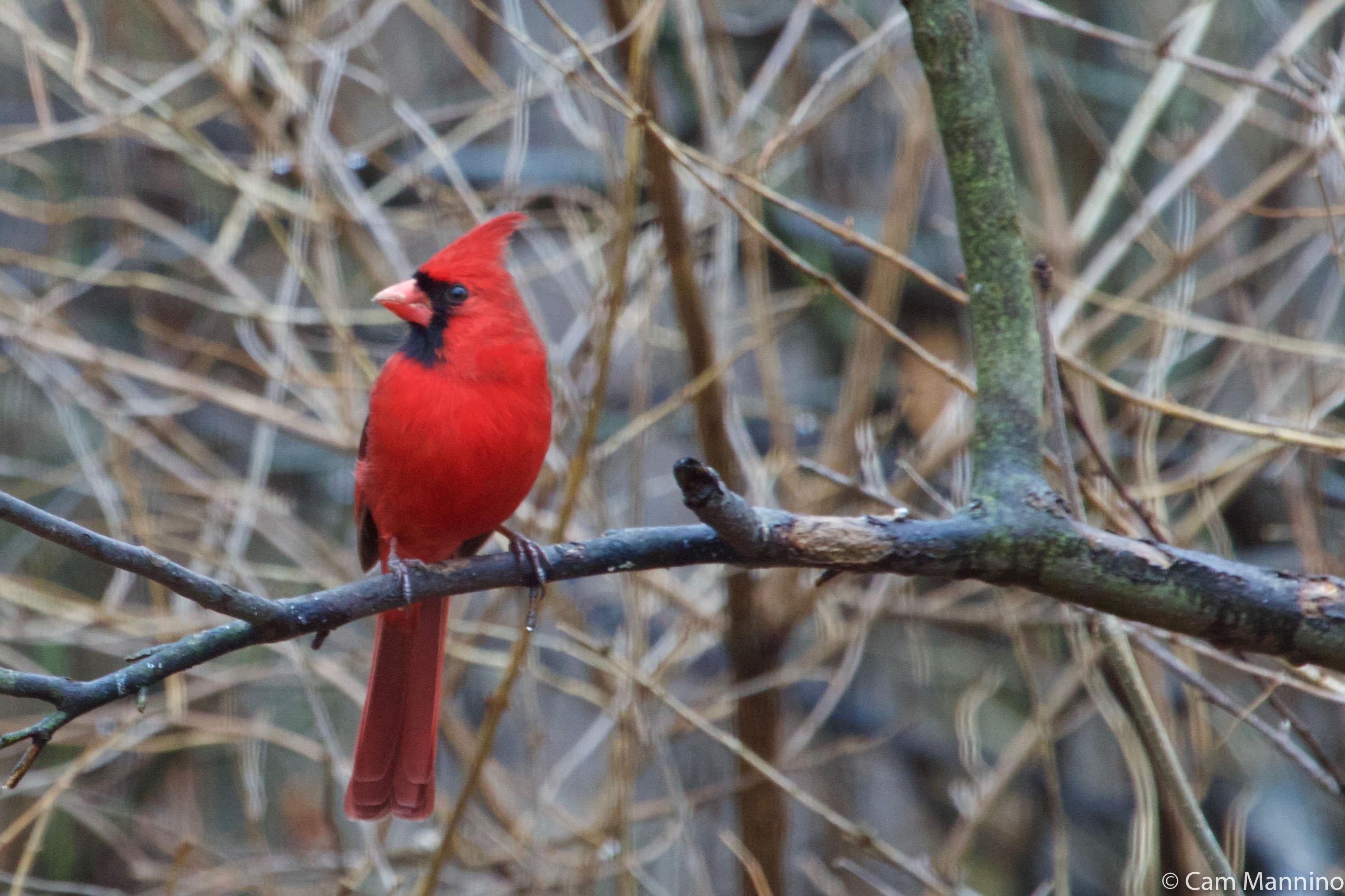 d792aca2a8a Northern Cardinal male