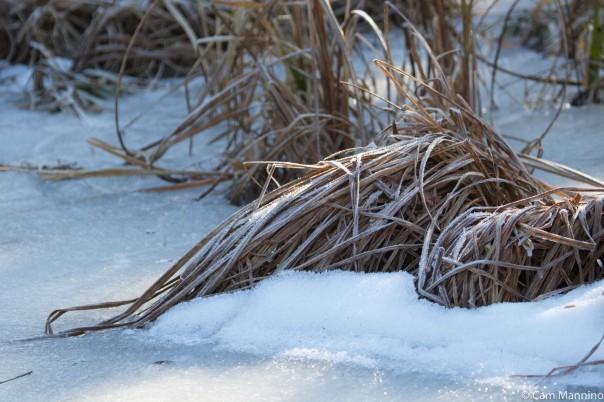 Frosted reeds Draper Marsh