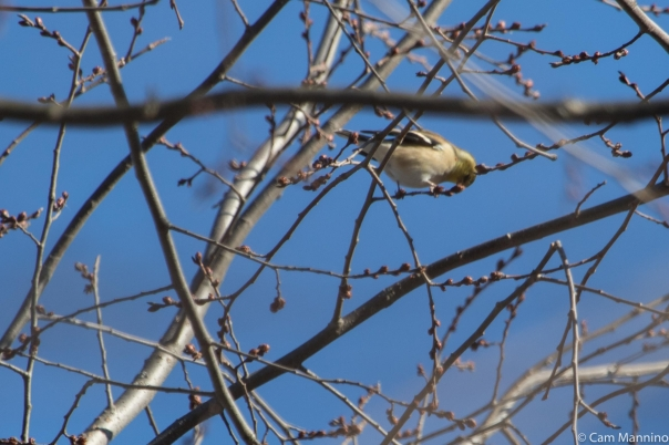 Goldfinch eating winter bud