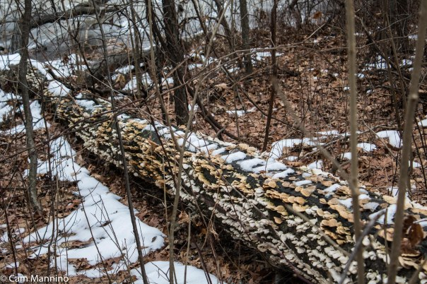 Log decorated with polypore mushrooms2