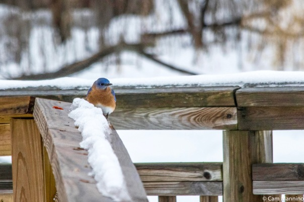 Male Bluebird Dec. 24 BC
