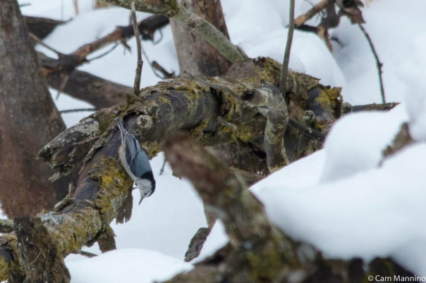 Nuthatch on log Playgr Pond Bc Dec 24