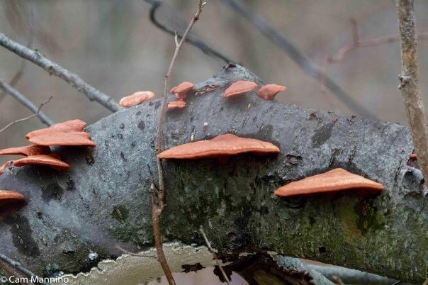 Orange Polypore Mushrooms Closeup Draper