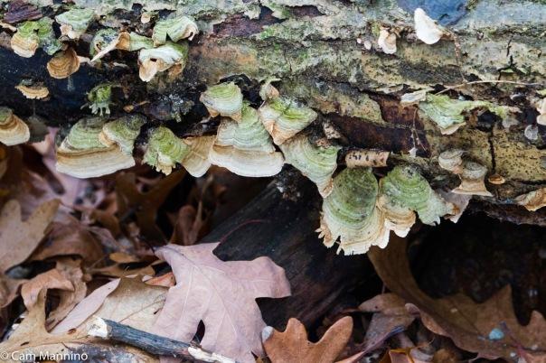 Polyphore versicolor mushrooms BC