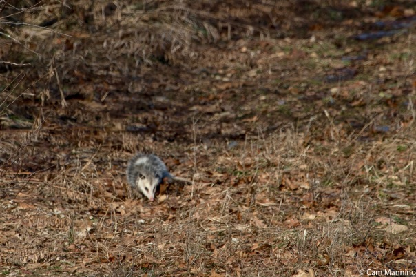Possum Draper