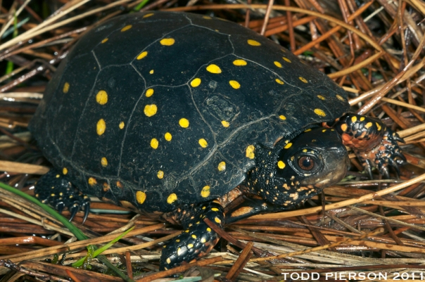 spotted-turtle-cc-no-my-photo