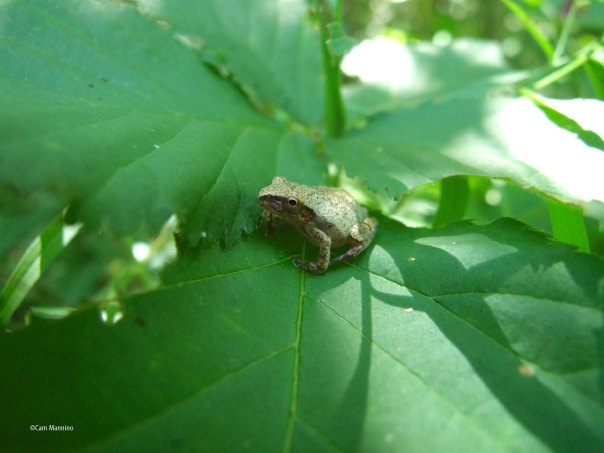 Spring Peeper largest size