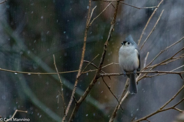 Tufted titmouse as snow falls