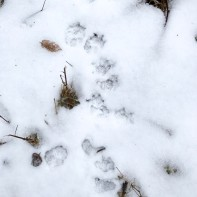 The small five-toed track of a possum