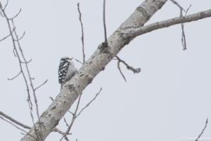 Female Downy Woodpecker CL
