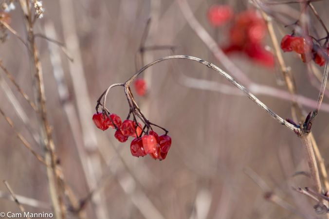 High-bush cranberries might make a delicious snack.