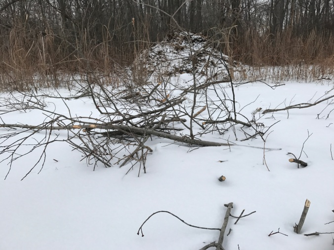 Young branches stuck in the mud near the beaver lodge provide winter food under the ice.