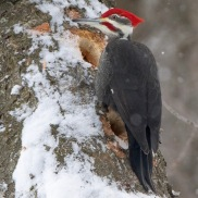 Pileated Woodpeckerer, photo by Joan Bonin