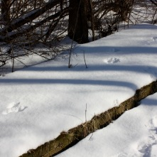 The evidence of a bounding rabbit on a wooden platform left by the trail.