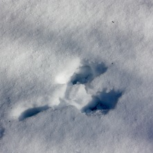 Rabbit track - the back foot prints are in front.