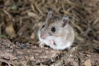 White-footed Mouse photo by Greg Lasley (CC BY-NC)
