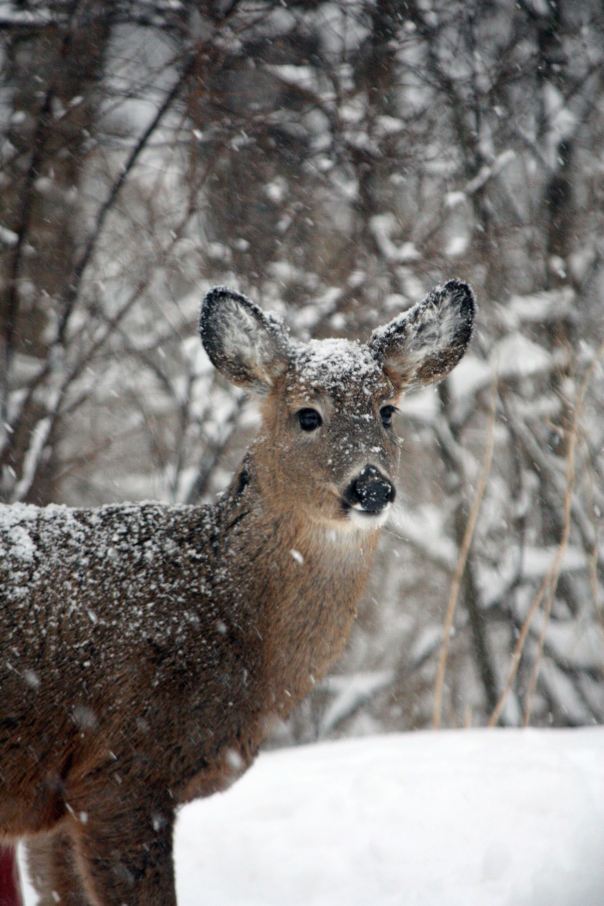 young-deer-in-snow