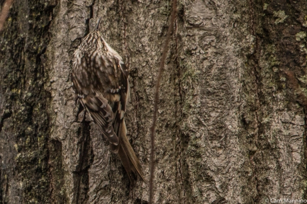 Brown Creeper 2 BC