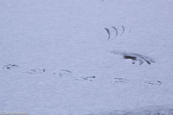 Duck feet and wing tracks Center Pond BC