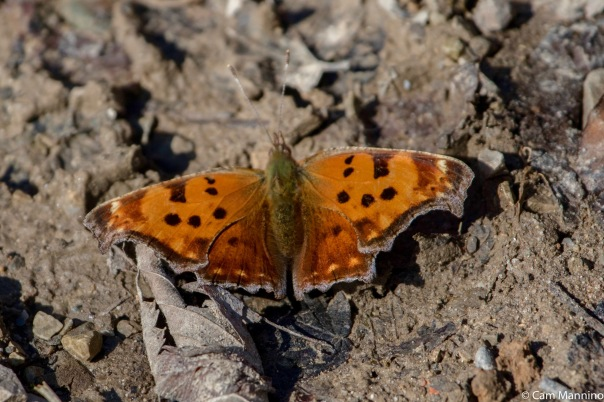 Eastern Comma Butterfly BC February