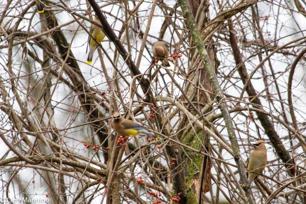 Flock of Cedar Waxwings BC