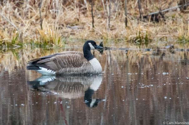 Lesser Canada Goose BC