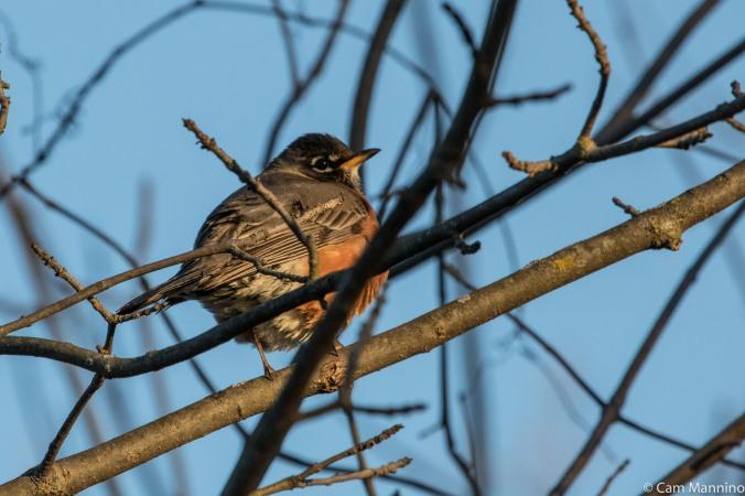 Robin in evening sun BC
