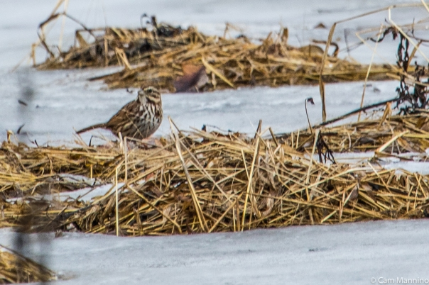 Song Sparrow BC Marsh 2