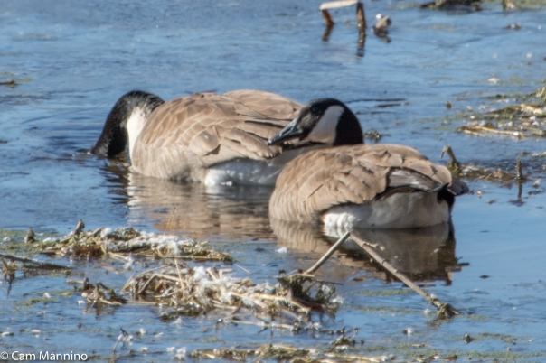 Two Geese in icy marsh BC