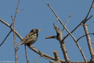 Invasive European Starling