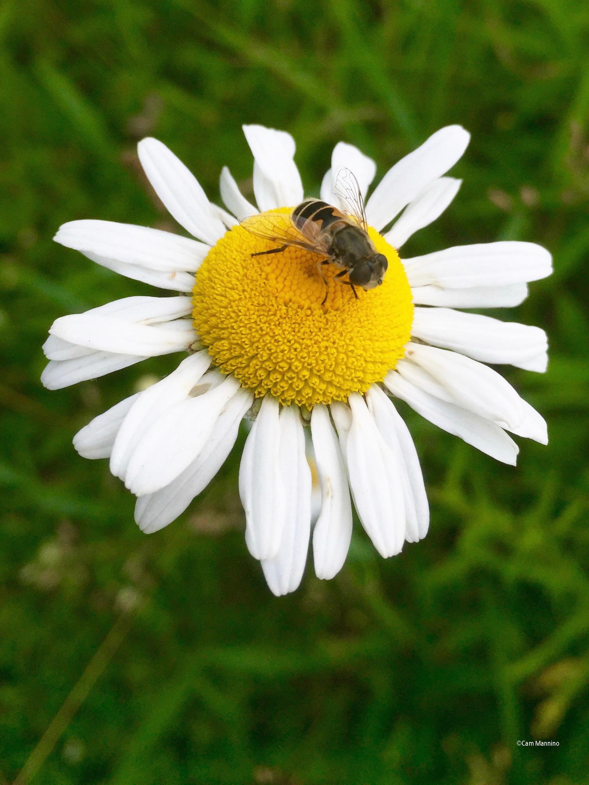 Daisy with bee
