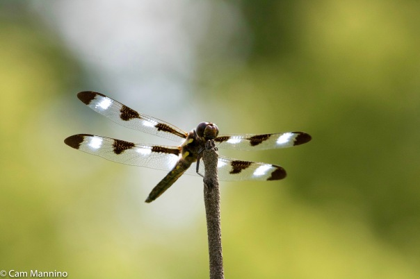 Twelve-spotted Skimmer dragonfly BC