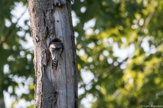 A Red-bellied Woodpecker (Melanerpes carolinus) reaches far into her nest to feed her young.