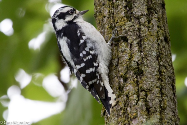 A Young Downy With Fresh Bright Breast Lands On Tree To Look For Food
