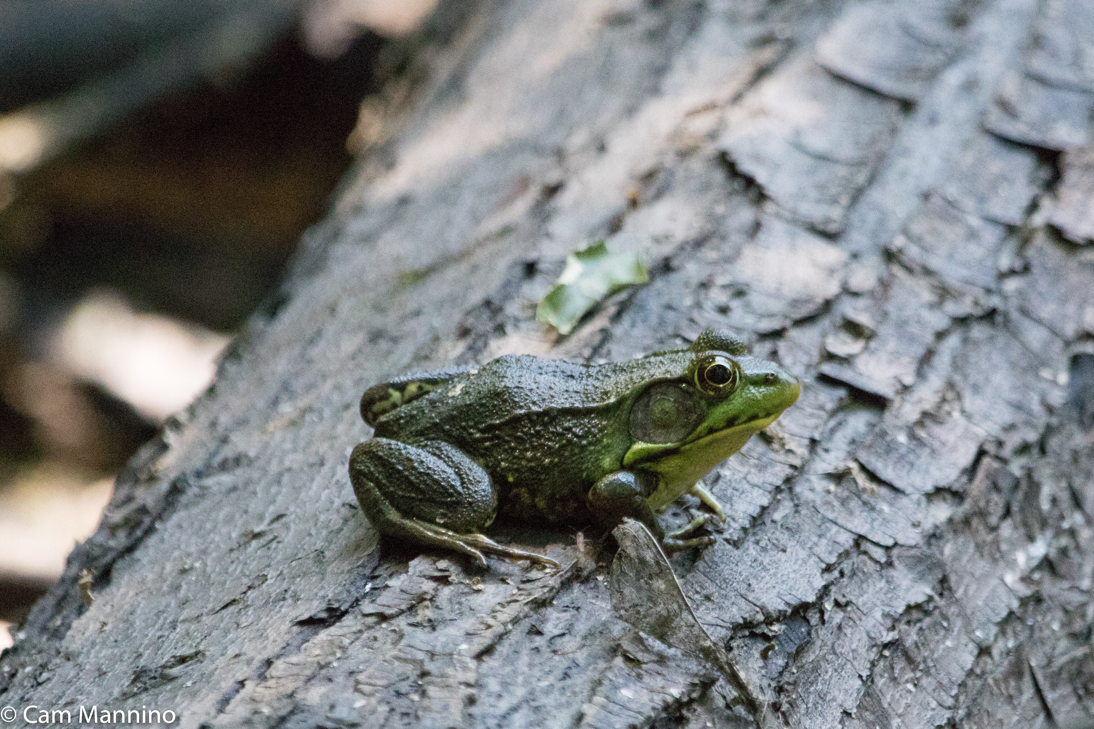 wood frog natural areas notebook