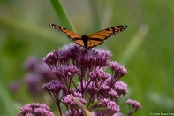 Monarch (Danaus plexippus) on Joe Pye (Eutrochium maculatum)