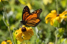 Male Monarch on a Black-eyed Susan (Rudbeckia hirta)