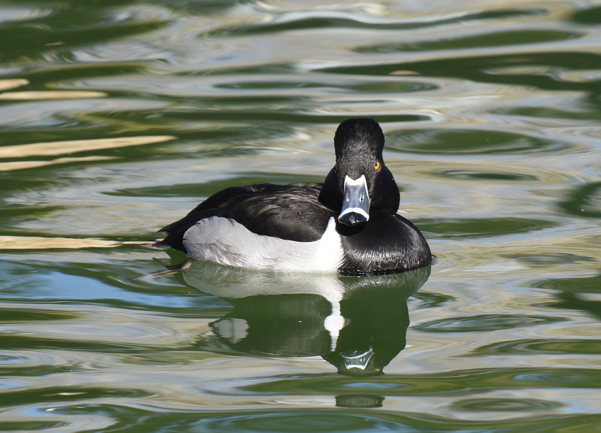 Ring-necked Duck by lonnyholmes CC BY NC