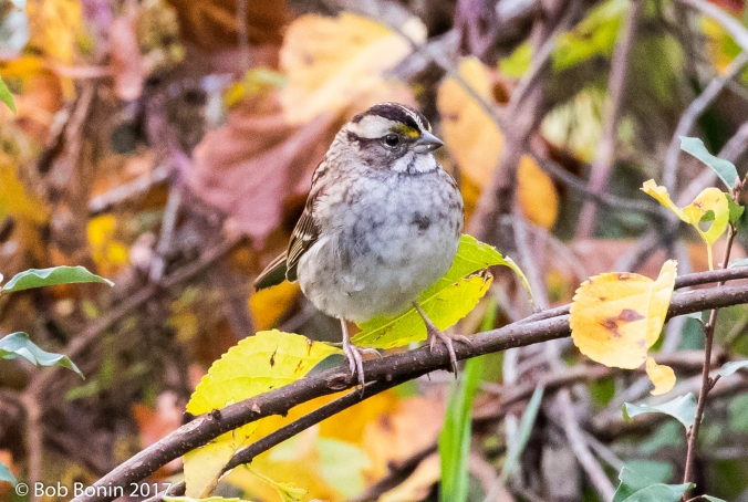 White-Throated-Sparrow3