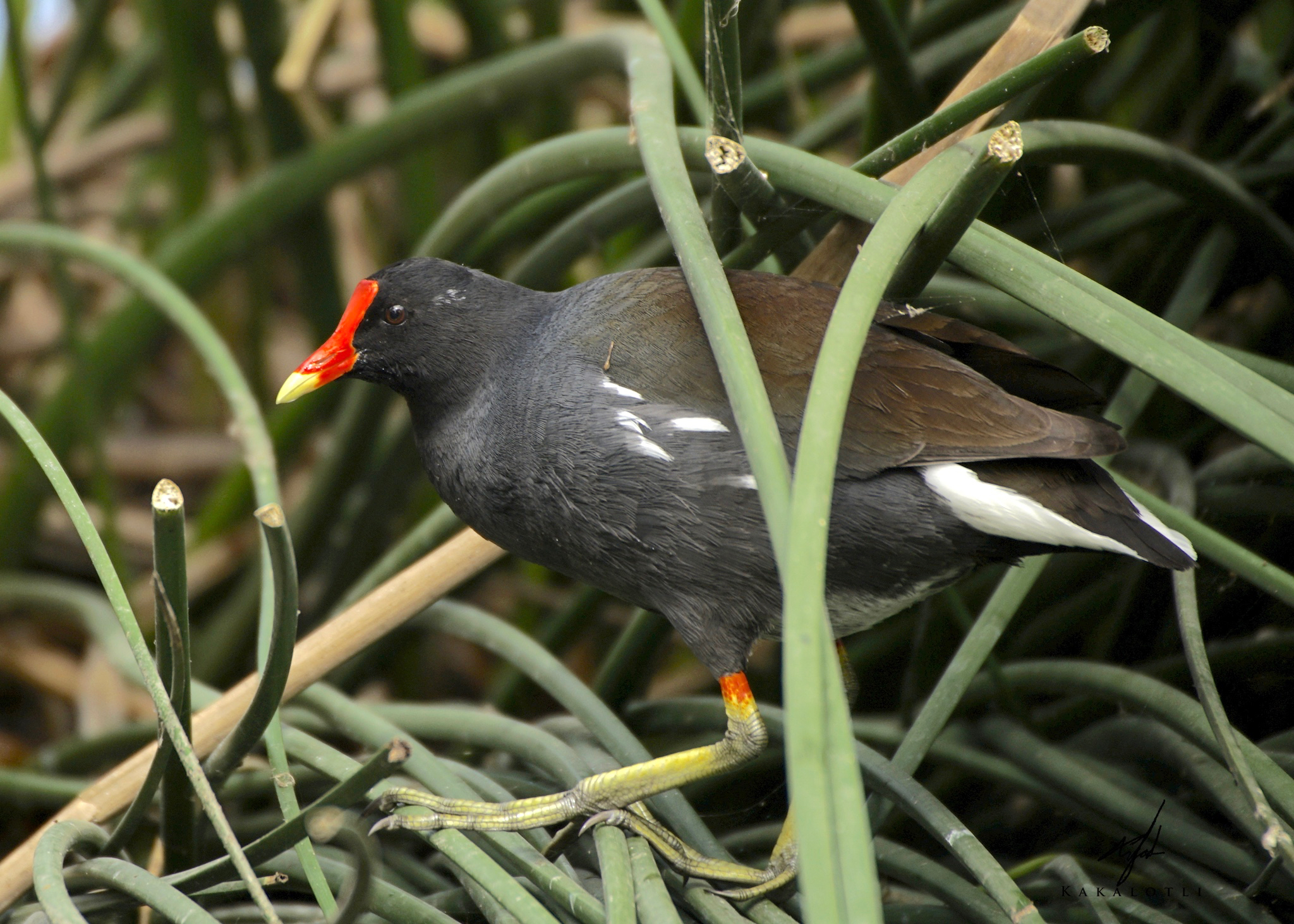 Common Gallinule by kakalotli (CC-BY-NC) (1)